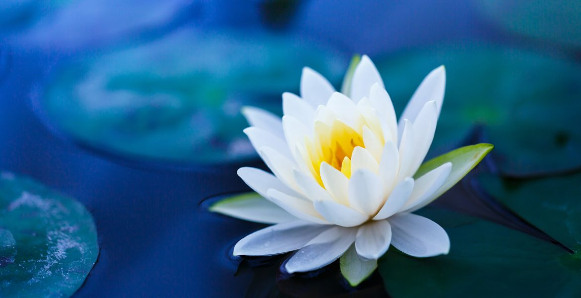 All You Need to Know About Blue Lotus Flower-min