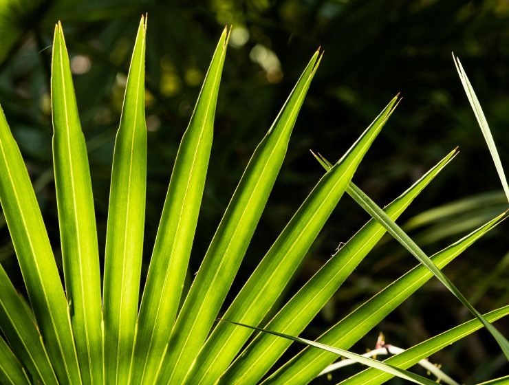 ALL YOU NEED TO KNOW ABOUT SAW PALMETTO-min
